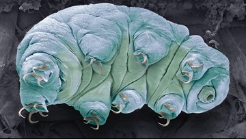 Earth's Toughest Animals, Tardigrades, Weakened by Climate Change