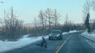 Two Turkeys Try to Knock the Stuffing out of One Another During Road Rage Brawl