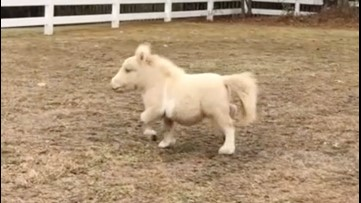Team of Mini Rescue Horses Bring Smiles to Those in Need