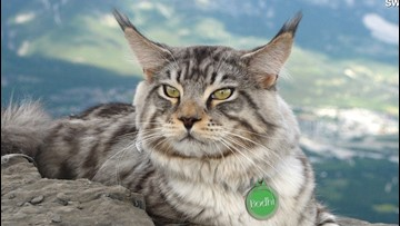 Meet Bodhi the Adventure Cat Who Loves Hikes, Bikes and Skiing!
