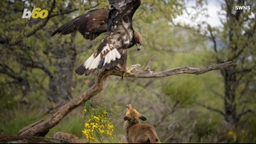 The Fox & The Eagle! Photographer Captures Eagle & Fox Defending Their Territory But Eventually Getting Along!