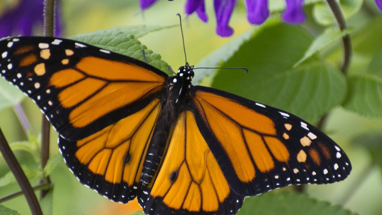 Monarch Butterfly population declining dramatically