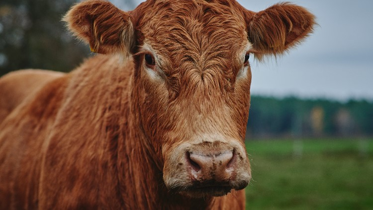 40 cows escape California slaughterhouse, 1 charges family