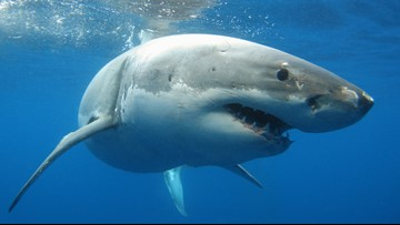Great white shark tracked in Long Island Sound for the first time