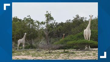 Rare white giraffes killed by poachers in Kenya