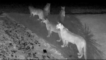 5 mountain lions together on video near El Dorado National Forest in rarely seen moment