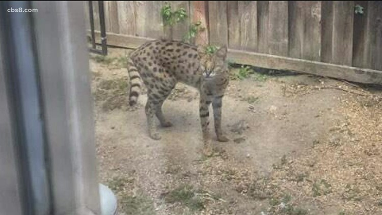 Exotic cat spotted roaming in San Diego County neighborhoods