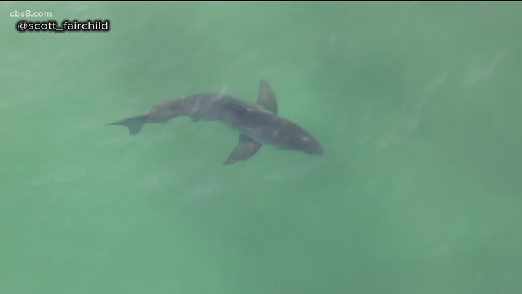 Drone photographer captures juvenile white sharks and surfers coexisting in Del Mar