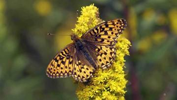 Oregon Zoo breeds rare silverspot butterfly in captivity