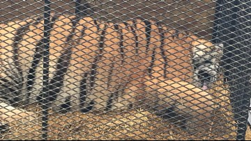 They went inside a vacant Houston home to smoke pot...and found a tiger inside