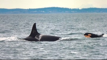 There are only about 75 Southern resident killer whales left in the wild. Humans are the reason.