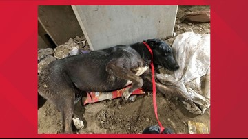 A dog was buried alive in a Phoenix dump. He was saved and is recovering.