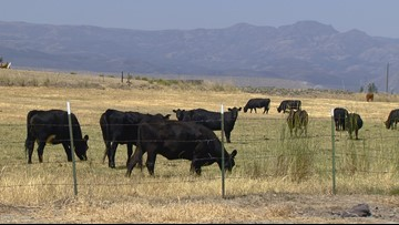 Five purebred bulls were mutilated in Eastern Oregon: How and why is still a mystery