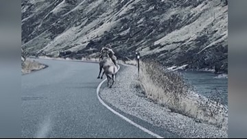 Fighting rams stop traffic on Idaho highway