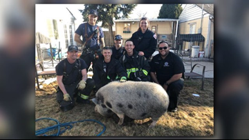 Pot-bellied pig rescued from Aurora, Colo. window well