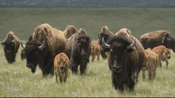 Colorado bison herd growing faster than expected