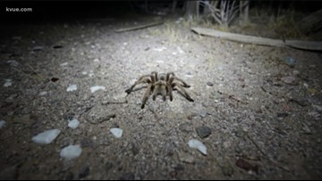 Watch your step: Fist-sized tarantulas spotted in Texas park.  Yikes!