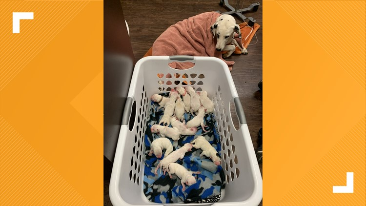 'There were puppies everywhere'   Dalmatian gives birth to 16 puppies in Texas
