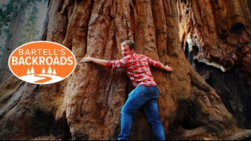 Northern California is home to some of the world's largest trees | Bartell's Backroads