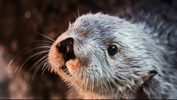Oldest southern sea otter in captivity dies in California