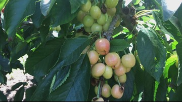 Cherry farmer's crop doubled this year, but coming rain could damage harvest