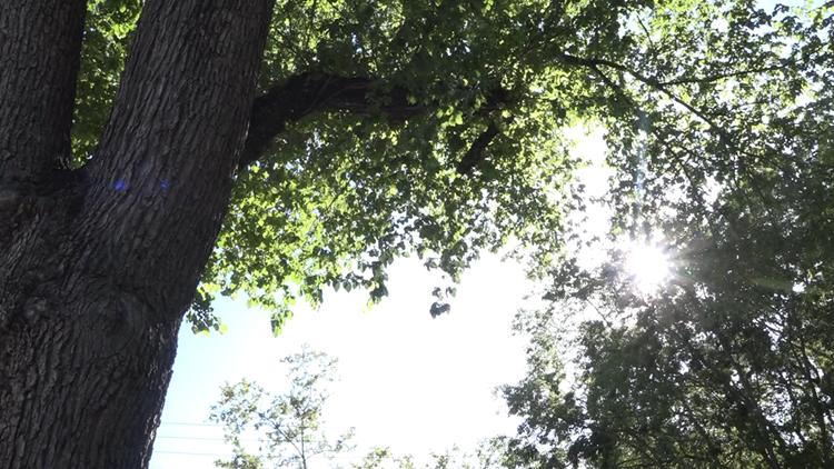 Grassroots effort to save Sacramento's elm trees enlists 'community scientists'