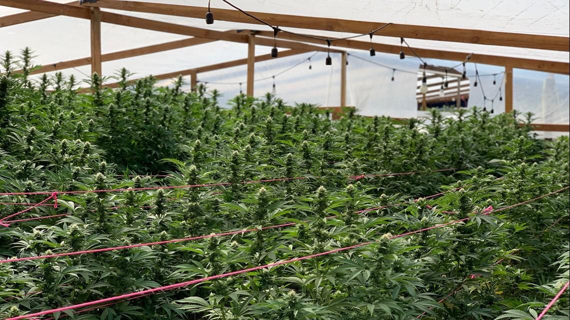 13 Marijuana Greenhouse Operation Shut Down In Stanislaus County