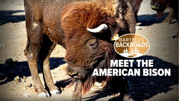 Meet the American Bison roaming the grasslands of Tehama County | Bartell's Backroads