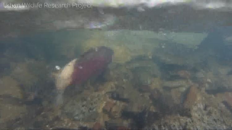 Bartell's Backroads: The salmon conundrum in Cordova Creek