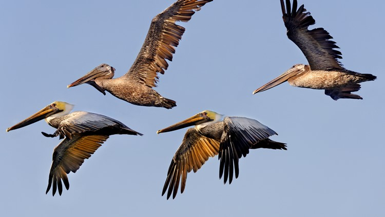 More than 30 pelicans mutilated on Southern California coast