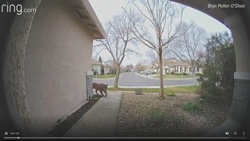 Ring camera captures mountain lion in Natomas neighborhood