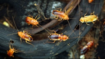 Why California's cockroach population is 'magnificently huge' this year