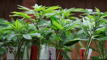 California schools may allow medical cannabis on campuses
