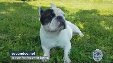 Manny the Frenchie brings awareness to the Dog Flu!