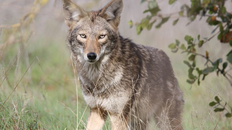 coyote2.Galante (002)_1525388606763.jpg.jpg