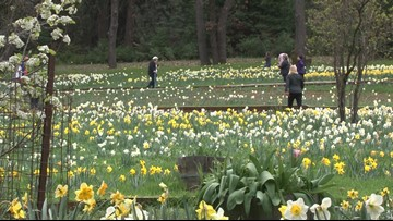 Daily Blend: Iconic Daffodil Hill closing indefinitely because of overwhelming popularity