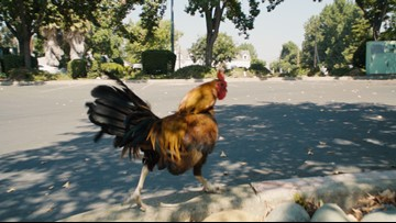 The mystery of Yuba City's famous wild chickens | abc10 com