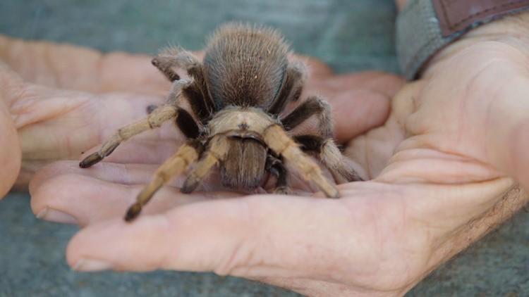 tarantula pic2_1536193057762.jpg.jpg
