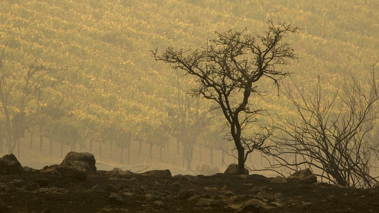 NAPA, CA - OCTOBER 11: A vineyard on Napa's Silverado Trail is seen next to land blackened the Atlas Fire on October 11, 2017 near Napa, California. In one of the worst wildfires in state history, more than 2,000 homes have burned and at least 21 people were killed as more than 14 wildfires continue to spread with little containment in eight Northern California counties. (Photo by David McNew/Getty Images)