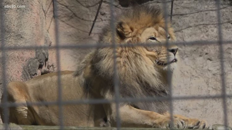 Sacramento County zoos ramp up protocols after tiger tests positive for coronavirus in New York