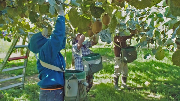 Kiwi Harvest in NorCal   Bartell's Backroads