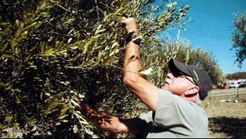 The forgotten olive trees of Calaveras County   Bartell's Backroads