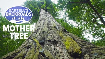 Prairie Creek State Park's largest and most complex organism is 'mother tree'   A Bartell's Backroads Pit Stop