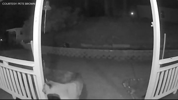 Surveillance video captures mountain lion walking on porch of Pollock Pines home