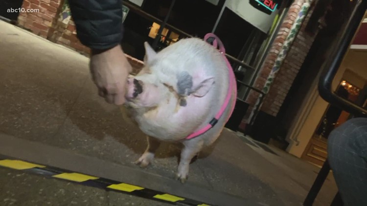 Say hello to the famous Sutter Street mini pig, Winnie
