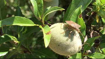 Why one bug is causing a stink for Stanislaus County farmers