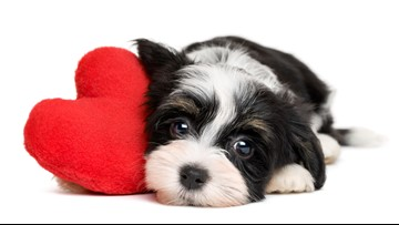 For the love of dogs: Pets get more attention on Valentine's Day than partners, study says