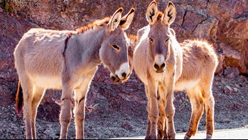 $10,000 reward offered for arrest of wild burro killers