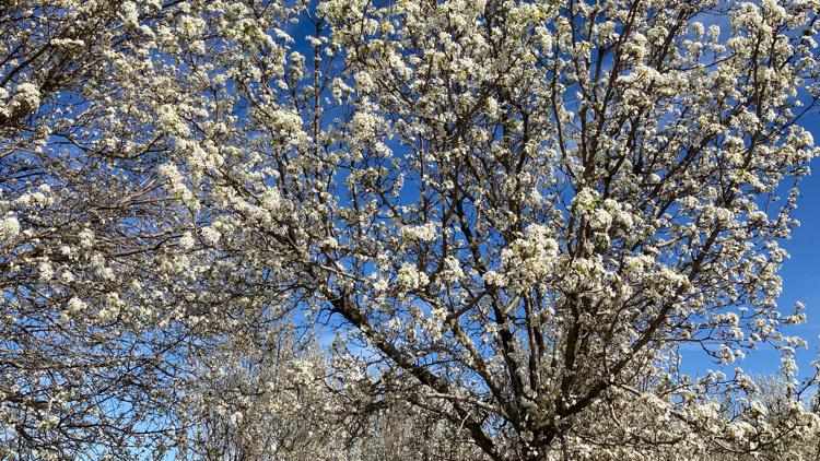 Why those beautiful, white-blossomed trees around Sacramento smell