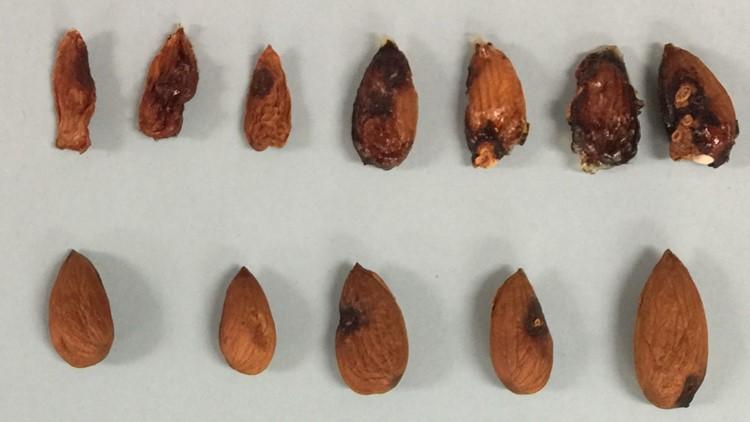 091219 almonds damaged by bmsb